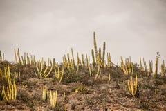 Cactus plants in desert landscape. Photograph of some cactus plants in desert landscape Stock Images