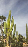 Cactus plants in desert landscape Royalty Free Stock Photos