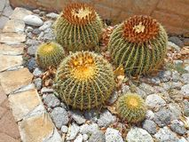 Cactus plants in the garden - echinocactus plants with big thorns. And blooming flowers on top royalty free stock images