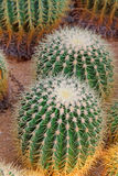 Cactus plants in a garden Royalty Free Stock Images