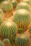 Cactus plants in a garden Royalty Free Stock Photography