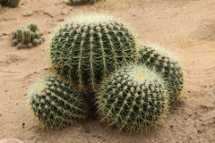 The cactus Royalty Free Stock Images