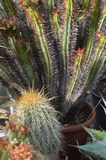 Cactus plants. Royalty Free Stock Images