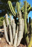 Cactus plants Mamillaria Cactaceae in the garden. Under the sun Royalty Free Stock Photography