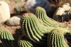 Cactus plants Mamillaria Cactaceae in the garden. Under the sun Stock Images