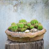 Cactus plants in the pot against vintage wall background Stock Photos