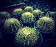 Cactus plants in pots Stock Image