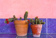 Cactus Plants on Purle Tile Surface stock photo