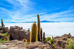 Cactus plants, Salt Desert, Bolivia. Details of the rocky Fish Island in the middle of Bolivian Salt Flats Royalty Free Stock Images