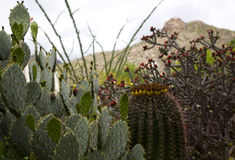 Cactus plants of the Southwest. Assortment of cactus in natural display with Catalina Mountains behind. Location is Tucson, Arizona. Xeriscape landscaping stock photos