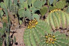 Cactus plants in Desert Botanical Garden in Phoenix Stock Images