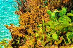 Cactus plants in Villasimius and the Bay of the Blue Waters of the Mediterranean Sea on Sardinia Island in Italy in summer. Cagliari region stock photos