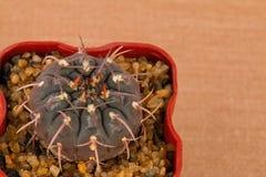 Cactus. Royalty Free Stock Photos