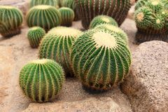 Cactus. A cactus (plural: cacti, cactuses, or cactus) is a member of the plant family Cactaceae within the order Caryophyllales. The word cactus derives, through Stock Photography