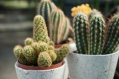 Cactus in POT Immagine Stock Libera da Diritti