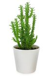 Cactus in pot Stock Photos