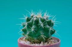 Cactus in POT Immagini Stock