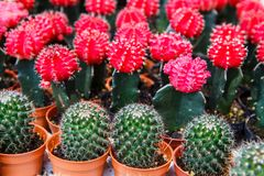 Cactus color red. In a pot stock images