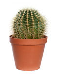 Cactus in pot. Royalty Free Stock Images