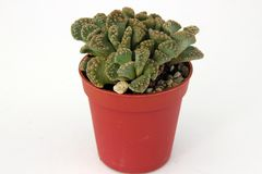 Cactus in a pot Stock Photography
