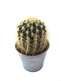 Cactus in a pot. On a white background Royalty Free Stock Image