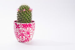 Cactus in pot. Lovely cactus in pot on white with copy space Royalty Free Stock Images
