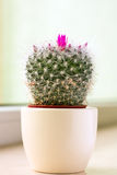 Cactus in a pot. Closeup of a cactus with pink flower ina a pot Royalty Free Stock Images