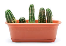 Cactus Pot. Green cactus in brown pot, isolated on white royalty free stock photos