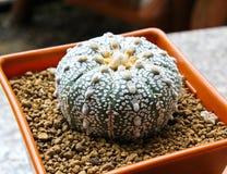Cactus in a pot. Royalty Free Stock Photos