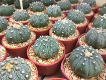 Cactus in POT Fotografia Stock Libera da Diritti