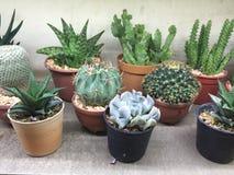 Cactus in POT Immagini Stock Libere da Diritti
