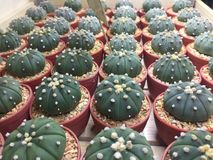 Cactus in POT Fotografia Stock