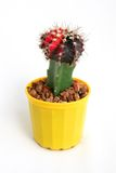 Cactus in the pot. Red cactus in the yellow pot Stock Photography