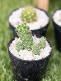 Cactus in pot Stock Afbeeldingen