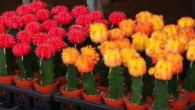 Cactus in pot Stock Afbeelding