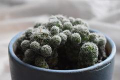 Cactus in a pot. A cactus in a blue ceramic pot stock photo