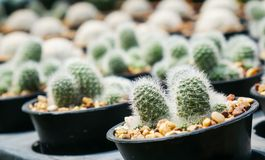 Cactus in the pot. For sale Royalty Free Stock Image
