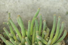Cactus in pot. On cement background stock images
