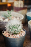 Cactus in the pot Royalty Free Stock Photo