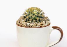 Cactus on pot Stock Images