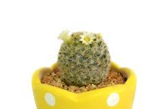 Cactus pot Stock Images