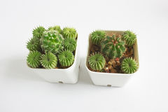 Cactus in a pot. Stock Image