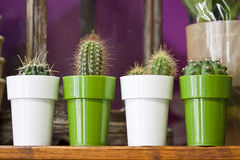 Cactus in a pot. Four small cactus in pots Royalty Free Stock Images