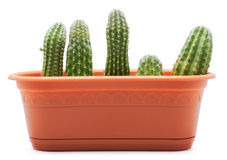 Cactus Pot Royalty Free Stock Images