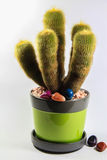 Cactus in a pot. Cactus in a green pot and colorful stones Royalty Free Stock Images
