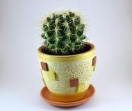 Cactus in a pot. Green prickly cactus grows in a beautiful pot royalty free stock photos