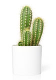 Cactus in pot. Isolated on white Royalty Free Stock Photo