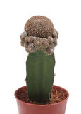 Cactus in a pot. Stock Images