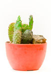 Cactus in pot Royalty Free Stock Photos