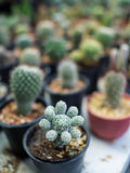 Cactus in The Pot Royalty Free Stock Images
